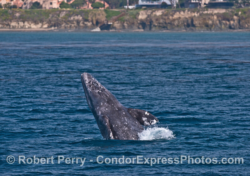 Gray whale breaching - chin and throat facing camera.