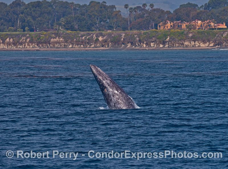 Image 2 of 2: Gray whale breaching close to Coal Oil Point (aka Counter's Point)