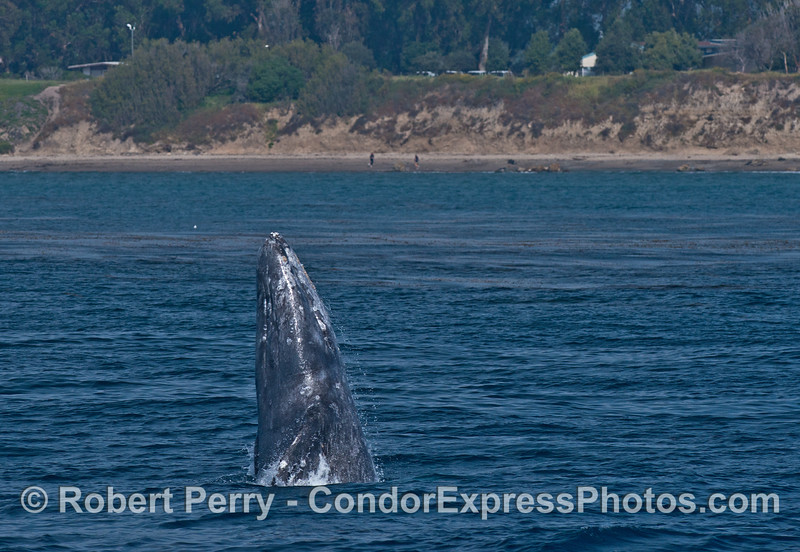 Image 1 of 2:  Gray whale breaching - people on beach near Coal Oil Point (Counter's Point).