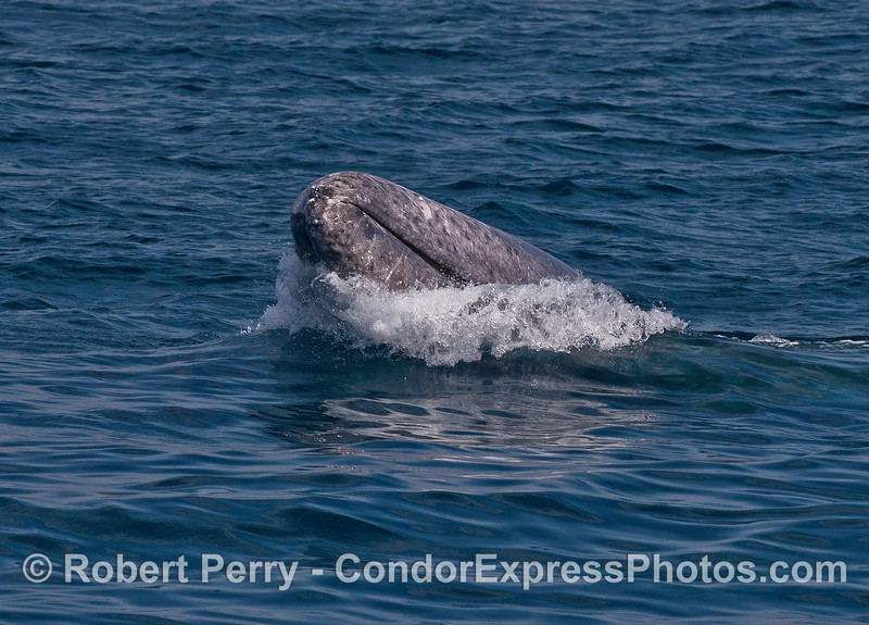 Gray whale - tip of rostrum, spy hop aimed at the camera.