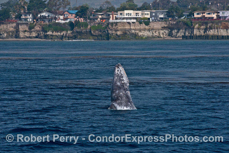 Image 1 of 4 in a row:   Gray whale breach with sea cliffs of Isla Vista in back.
