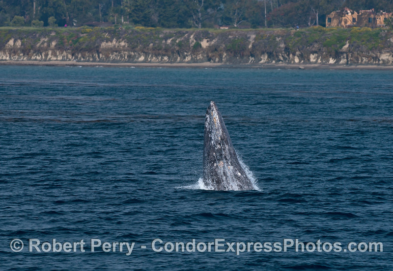 Image 1 of 2: Gray whale breaching close to Coal Oil Point (aka Counter's Point)