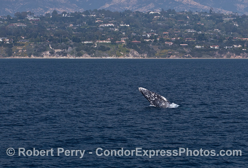 Gray whale breach with Santa Barbara coastline in back - wide angle.