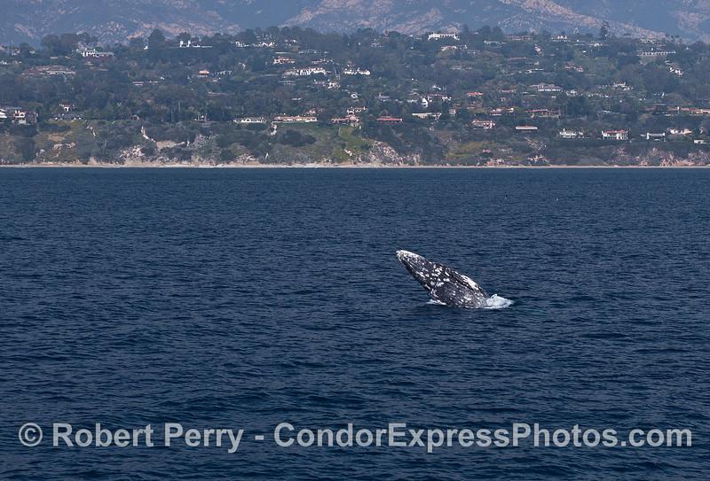 Gray whale breach with Santa Barbara coastline in back - wide angle.