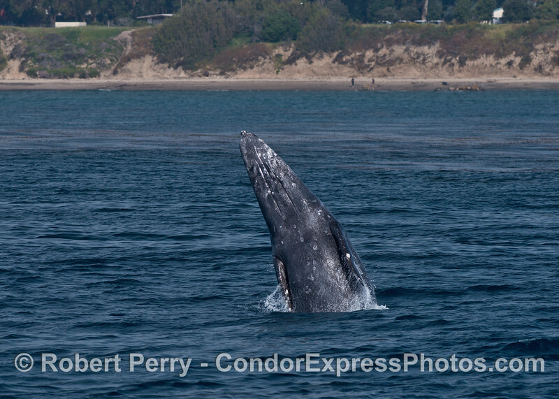 Image 2 of 2:  Gray whale breaching - people on beach near Coal Oil Point (Counter's Point).
