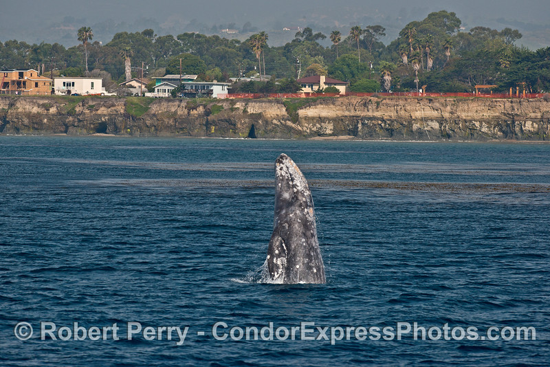Gray whale breach - getting pretty far out of the water.