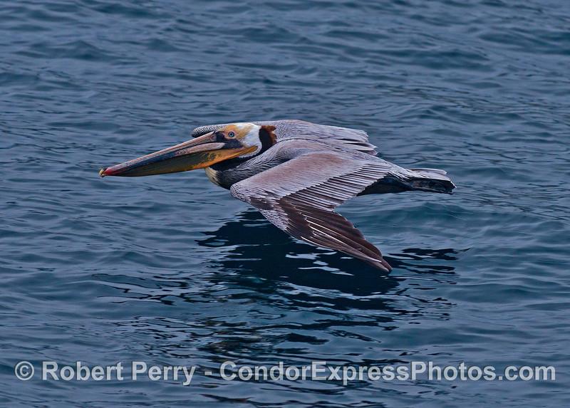 A brown pelican soars across the ocean surface.