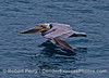 A brown pelican soars across the ocean surface.