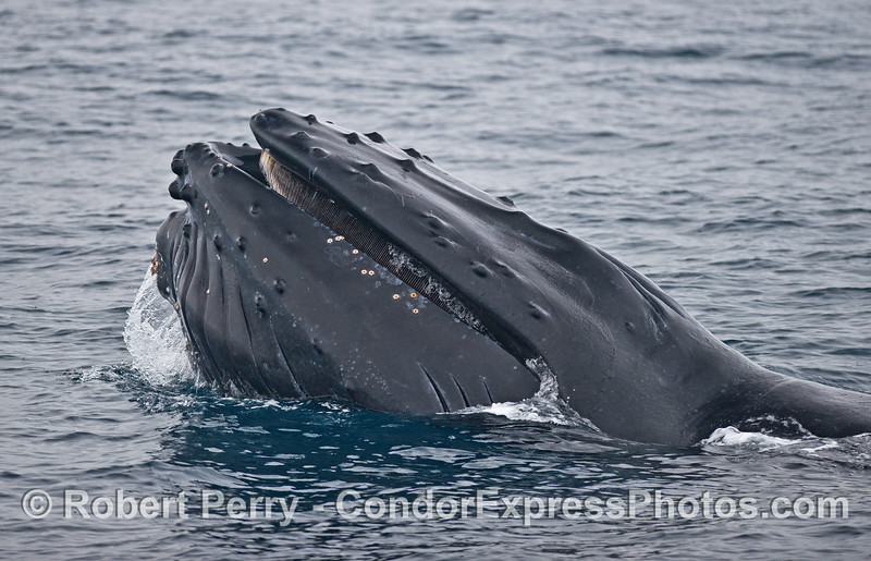 A surface lunge feeding humpback whale.  Note that the gullar pouch is distended...full of water and anchovies.