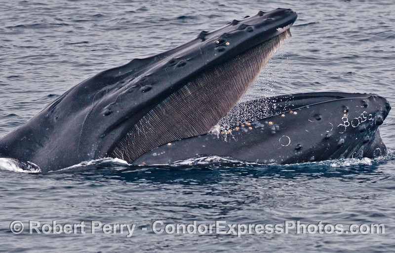 The right side of a humpback whale with its mouth open and its baleen visible.