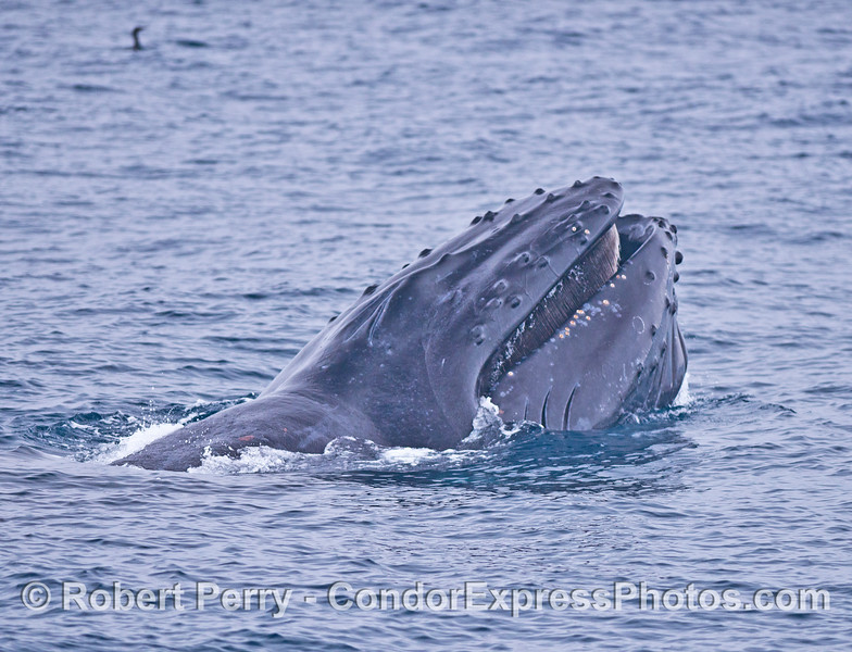 A humpback whale lifted its head then opened its mouth...baleen visible.