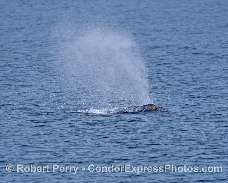 Gray whale head and spout.