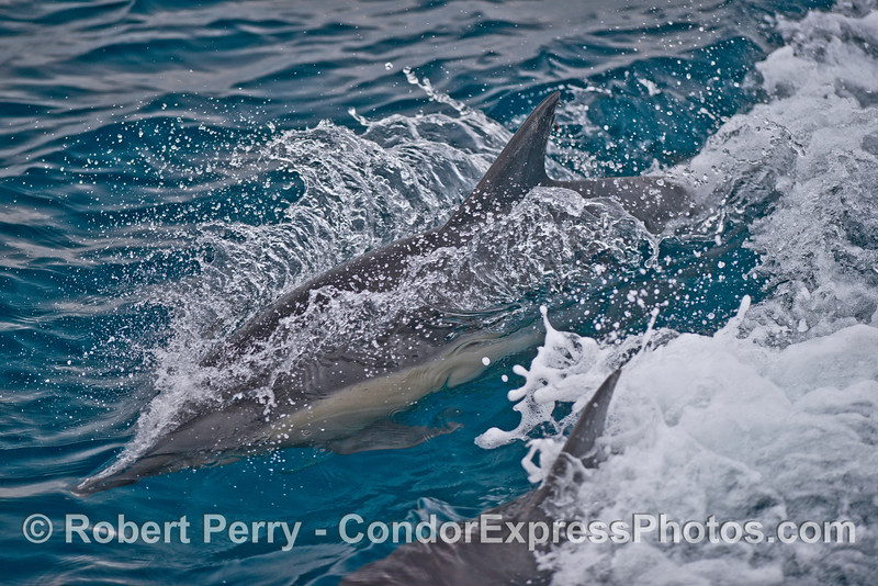 Long-beaked common dolphins.