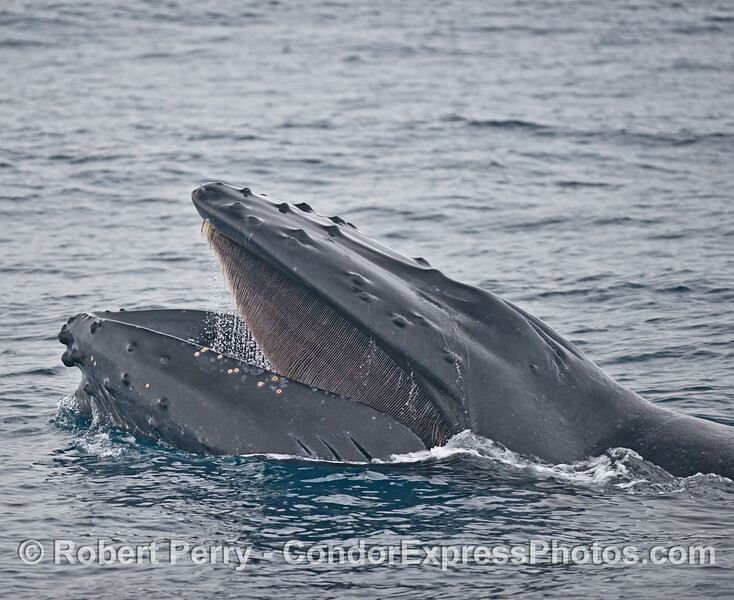 The left side of a humpback whale with its mouth open and its baleen visible.