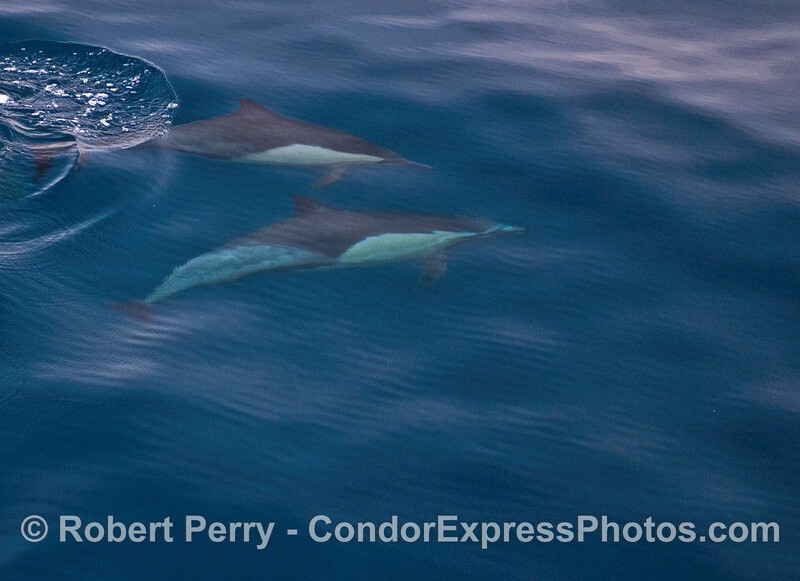Underwater view of long-beaked common dolphins.