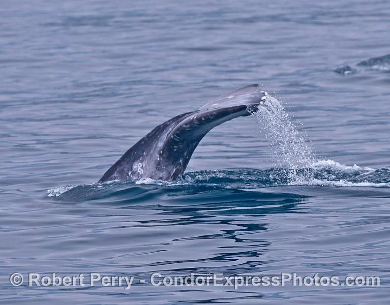 Gray whale tail flukes on a mirror ocean.