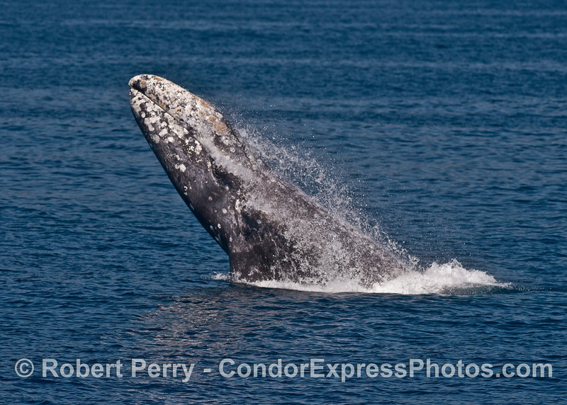Image 5 of 7 in a row:  gray whale breaching sequence.  Sunny day, blue water, why not?