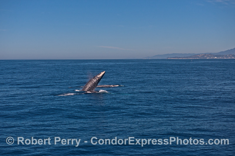 Image 3 of 4 in a row:   three gray whales and the middle one breaches between the other two.  Feelin' frisky with the fine weather?