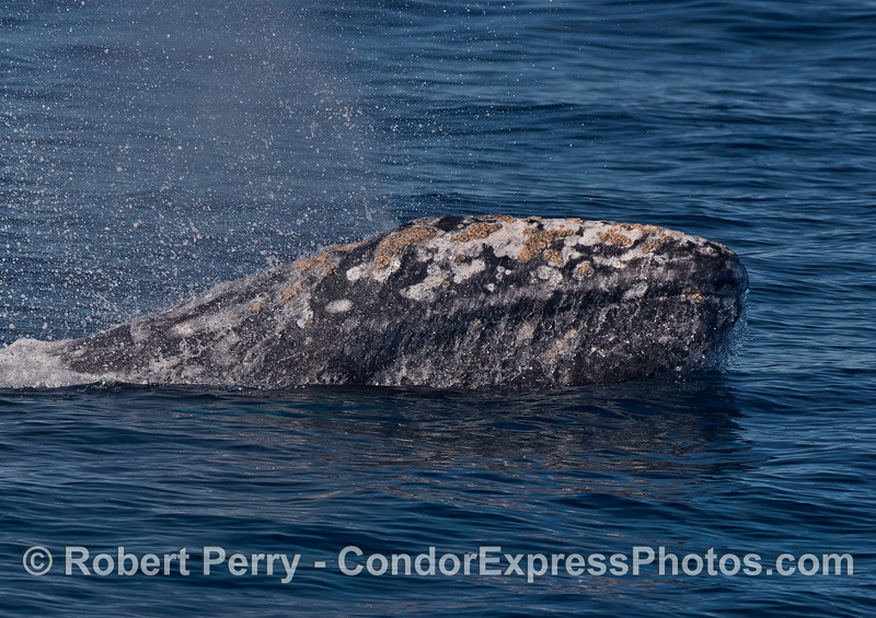 A gray whale lifts its head and water streams off.  A close up view.