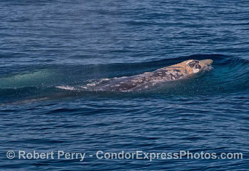 Three gray whales mating - one rushes ahead of the pack.