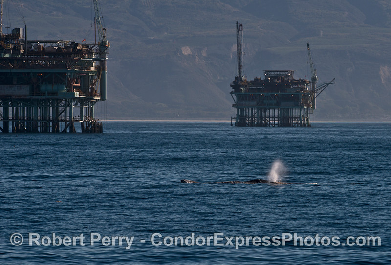 Gray whales rolling around together - Platform Hentry (left) and Houchin (right).