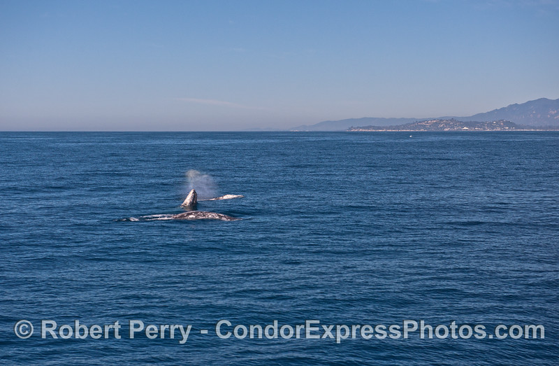 Image 1 of 4 in a row:   three gray whales and the middle one breaches between the other two.  Feelin' frisky with the fine weather?