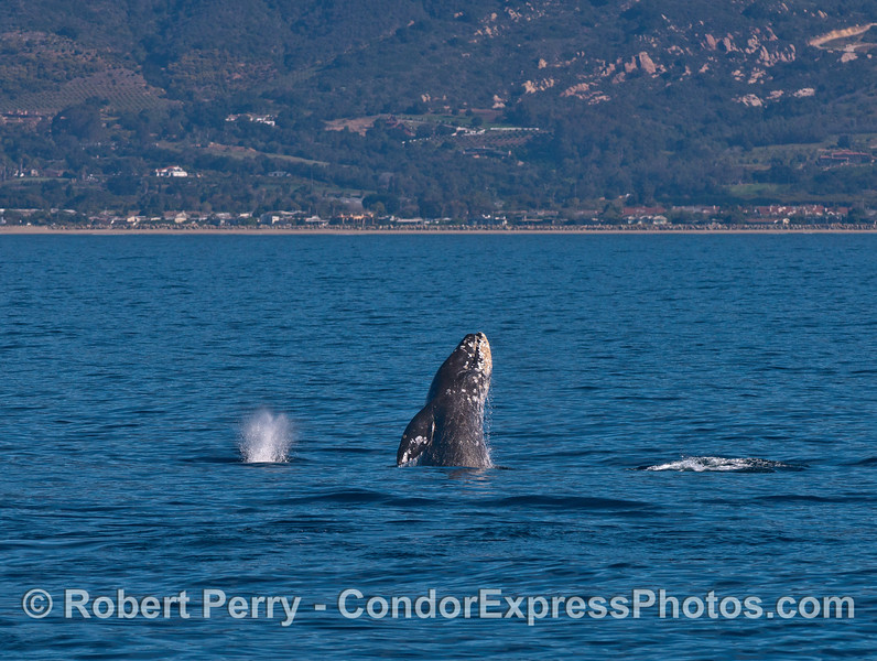 Three gray whales - one breaches.