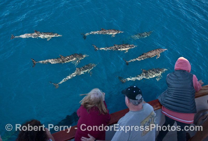 Eight long-beaked common dolphins and some lucky whale watchers.