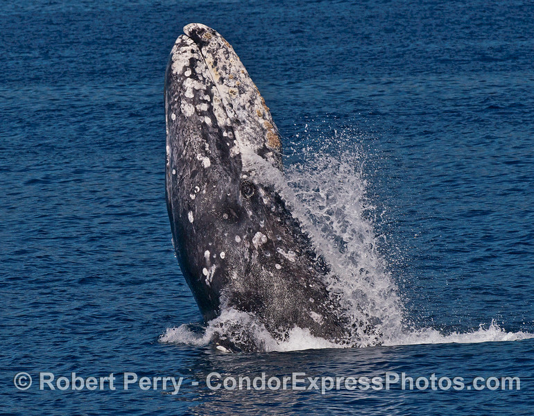 Gray whale breaching.