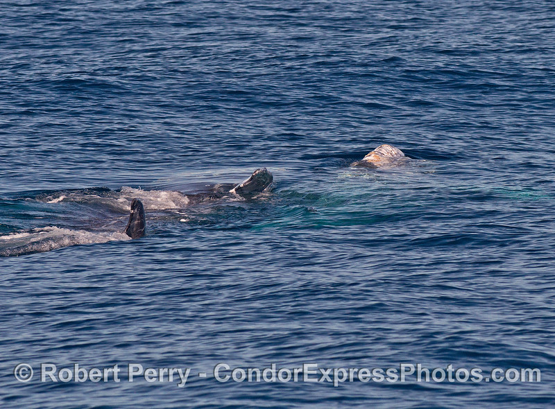 Gray whales rolling around together - mating ?
