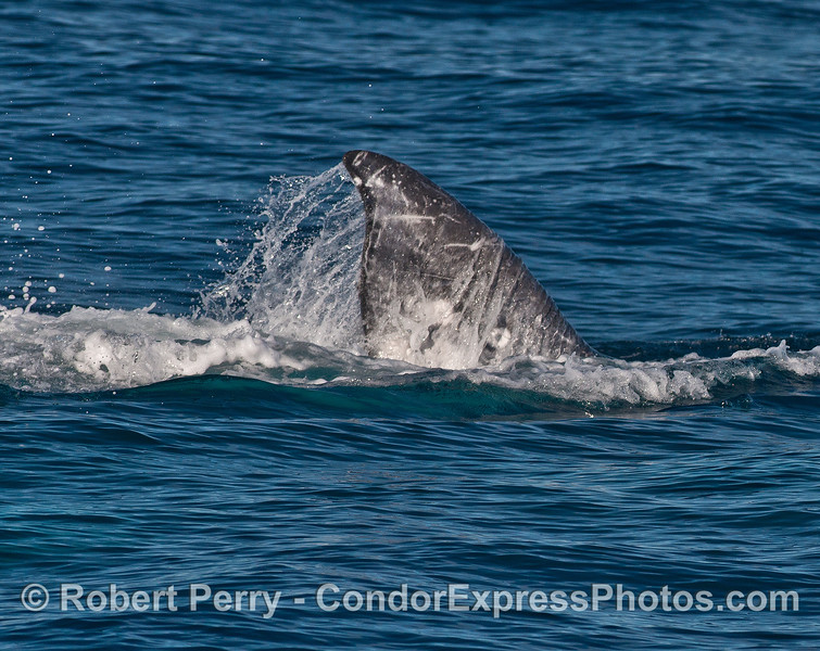 Three gray whales mating - half of the tail of one whale.