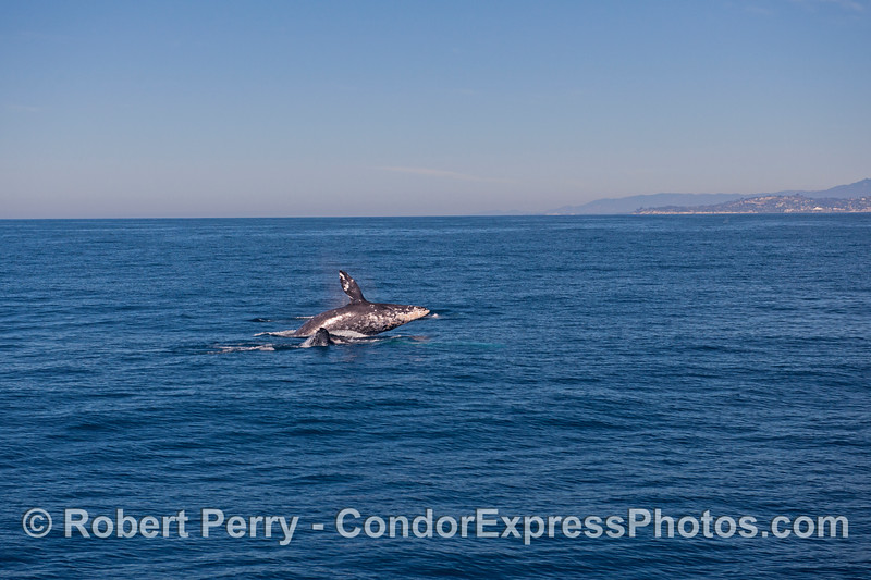 Image 4 of 4 in a row:   three gray whales and the middle one breaches between the other two.  Feelin' frisky with the fine weather?