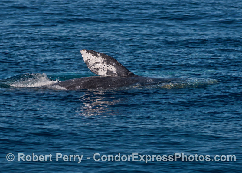 Blue water and a gray whale rolling around showing its pectoral fin.