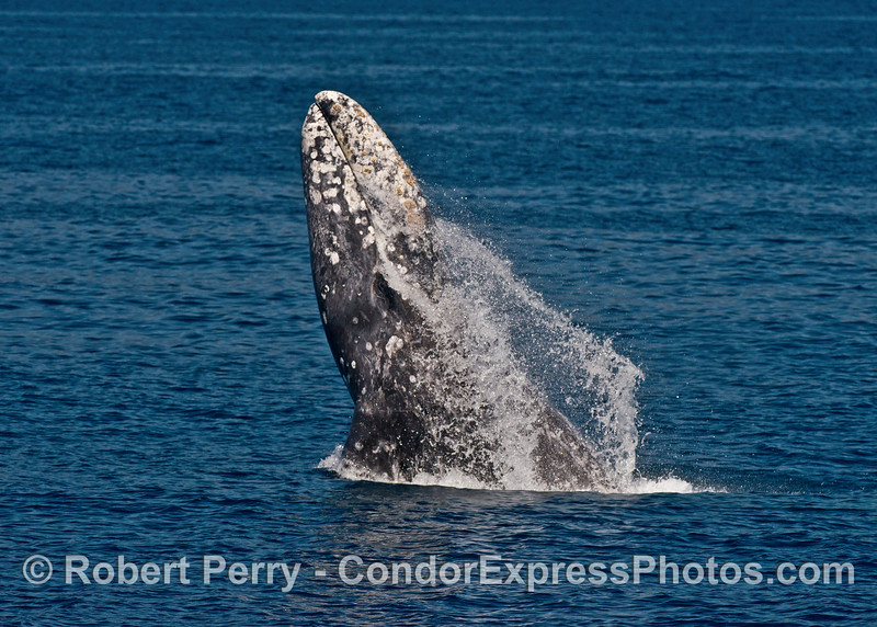 Image 4 of 7 in a row:  gray whale breaching sequence.  Sunny day, blue water, why not?