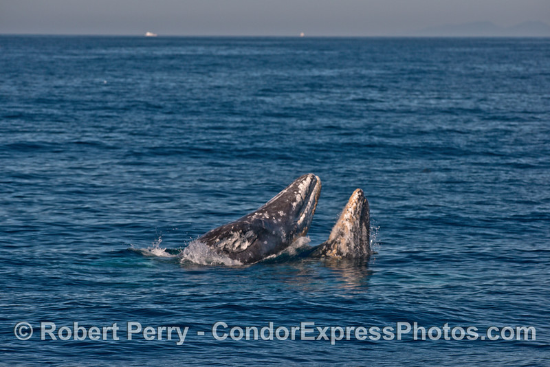 Image 2 of 7 in a row:   Two gray whales breach almost simultaneously...almost.