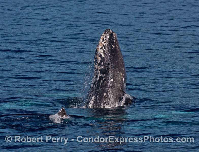 Image 2 of 3 in a row:  Three gray whales mating - one takes a break and breaches.