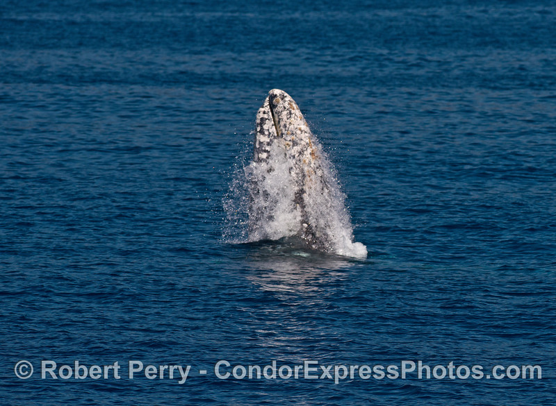 Image 1 of 7 in a row:  gray whale breaching sequence.  Sunny day, blue water, why not?