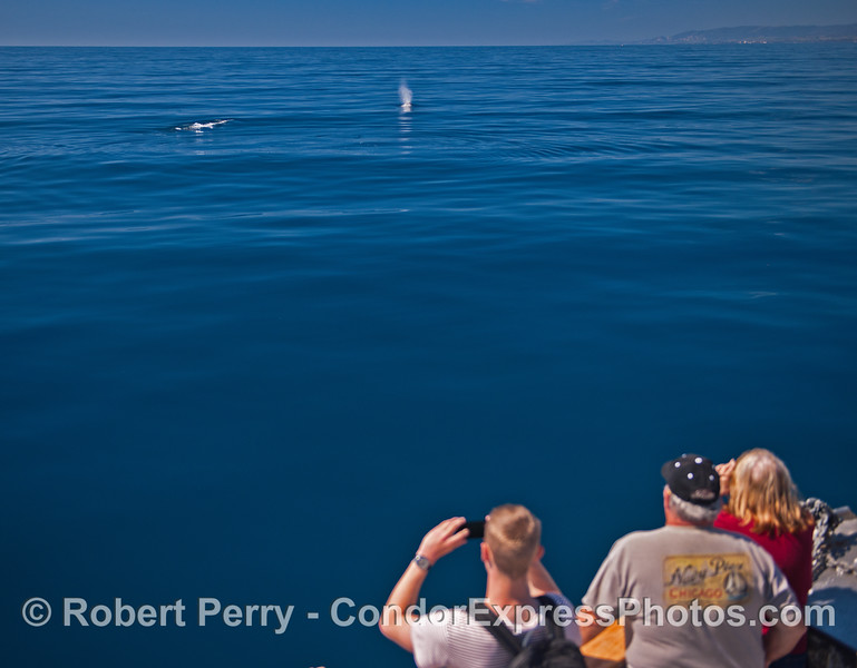 Mirror glass blue ocean, two gray whales and a bunch of lucky whale fans.