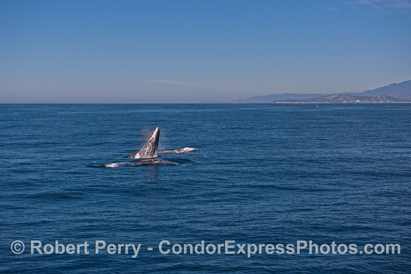 Image 2 of 4 in a row:   three gray whales and the middle one breaches between the other two.  Feelin' frisky with the fine weather?