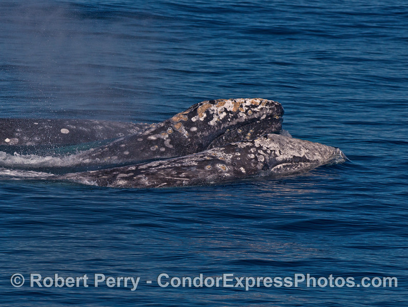 Three gray whales swim side by side - two lift their heads together.