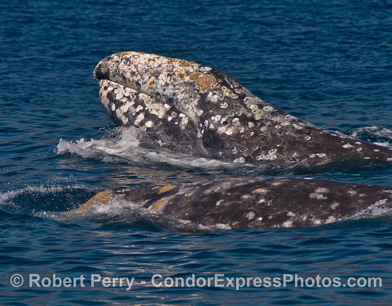 Two gray whales in clear blue water, one lifts its head to take a look around.