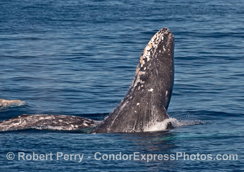 Image 1 of 2 in a row:  Three gray whales - one lunges forward.