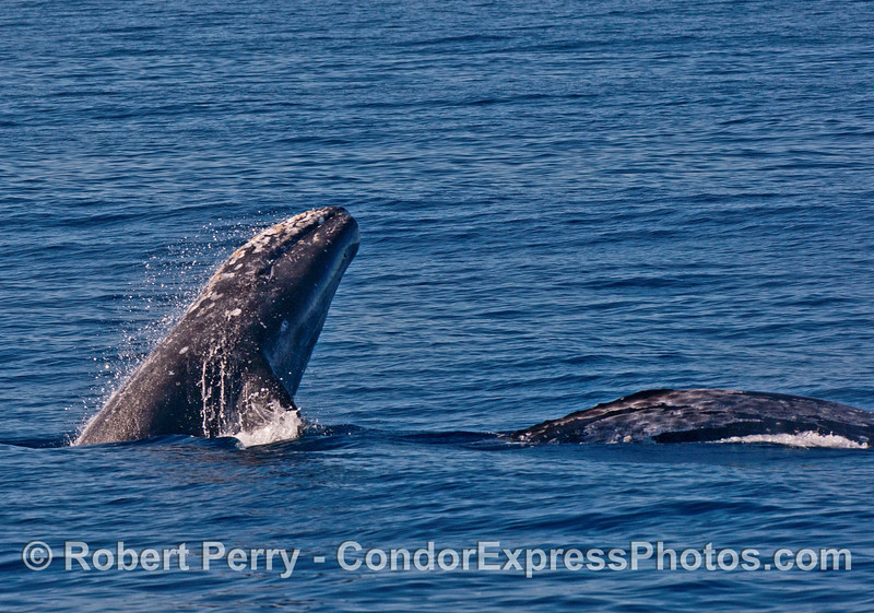 A trio of gray whales and the juvenile breaches.