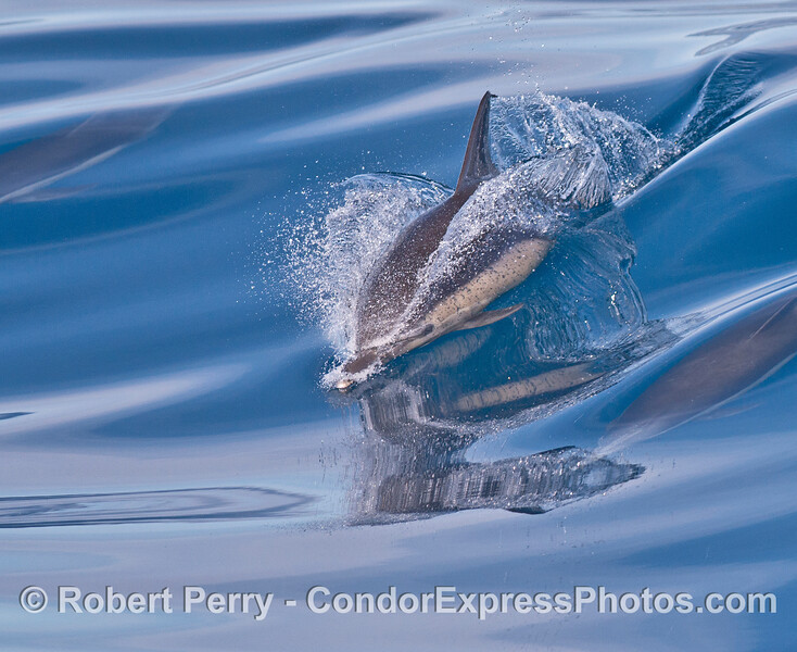 A long-beaked common dolphin slides down a glassy mirror wave.