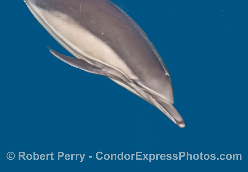 A miniature bubble stream comes from the blowhole of this long-beaked common dolphin.
