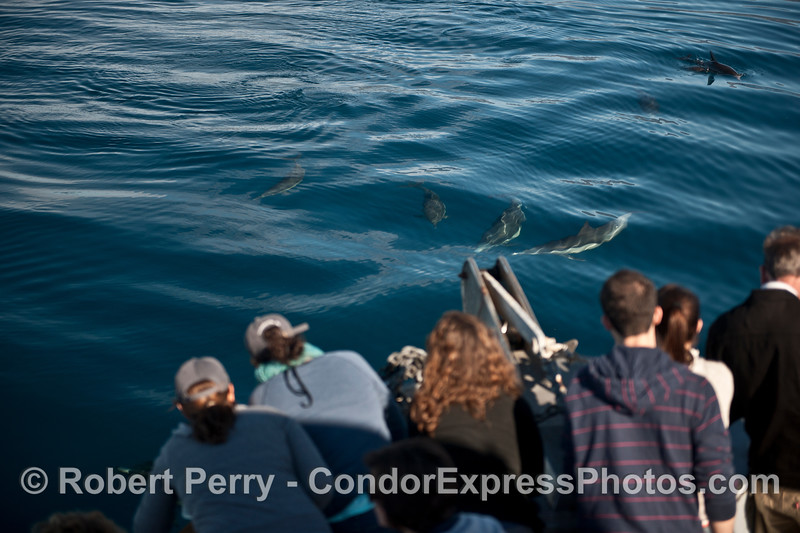 Long-beaked common dolphins greet their fans.
