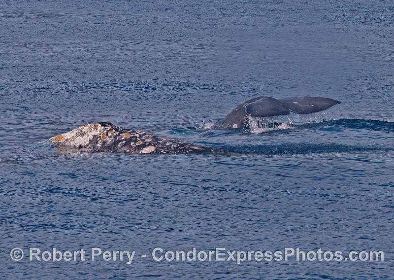 Image 2 of 3:  a pair of gray whales.