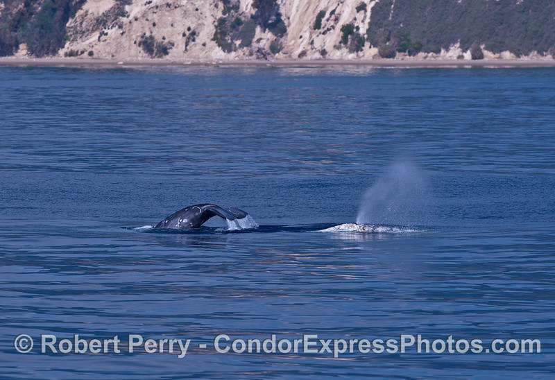Image 3 of 3:  a pair of gray whales.