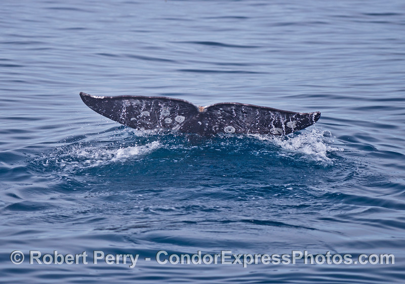 Image 6 of 6 in a row:  a friendly gray whale surfaces in front of the boat.