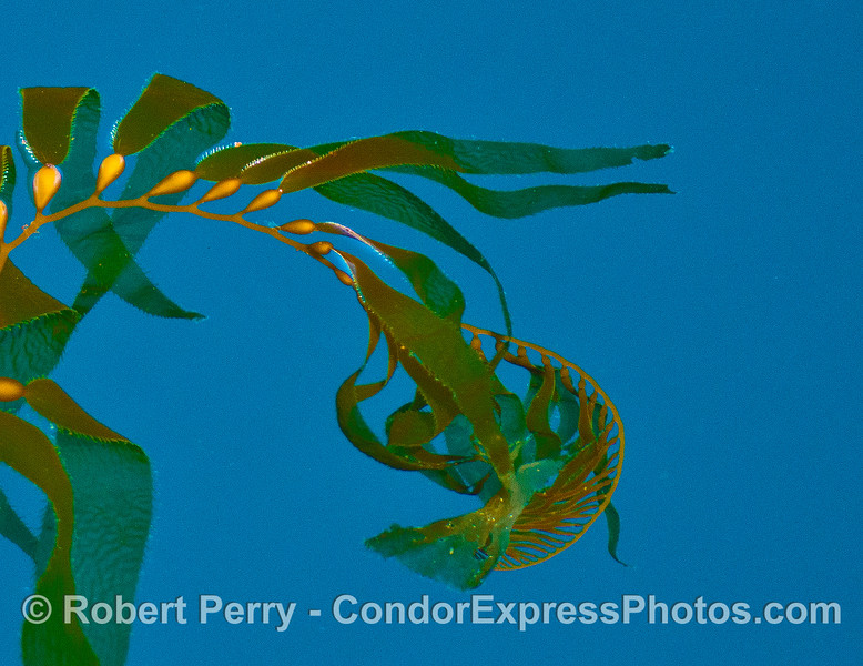 The apical fronds of giant kelp on the surface - blue water.